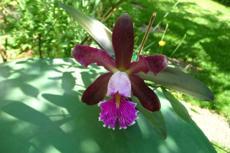 Cattleya Quinquecolor x schilleriana sanderiana und Cattleya Peckhaviensis x (Netrasiri Doll x Thospol Spots) - Seite 4 P1350410