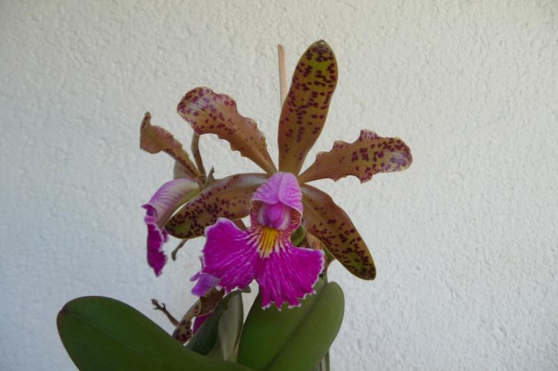 Cattleya Quinquecolor x schilleriana sanderiana und Cattleya Peckhaviensis x (Netrasiri Doll x Thospol Spots) - Seite 4 P1350512
