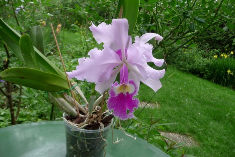 Cattleya warscewiczii - Seite 6 P1350612