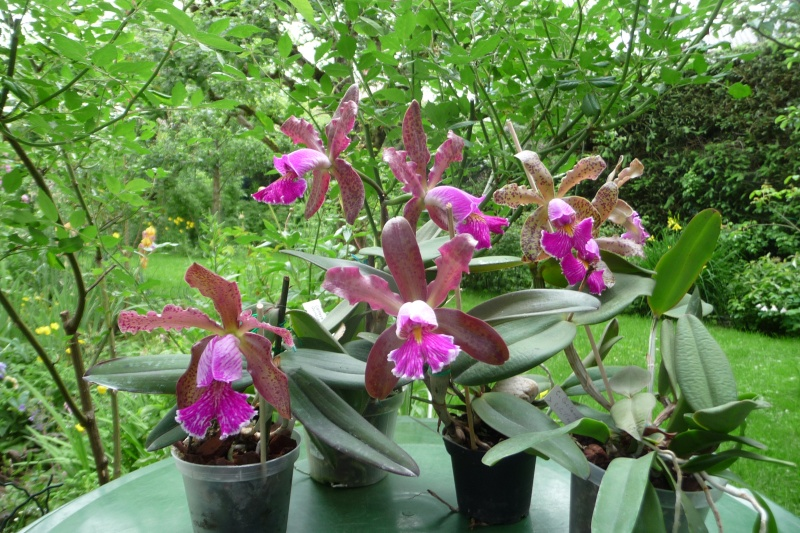 Cattleya Quinquecolor x schilleriana sanderiana und Cattleya Peckhaviensis x (Netrasiri Doll x Thospol Spots) - Seite 4 P1350614