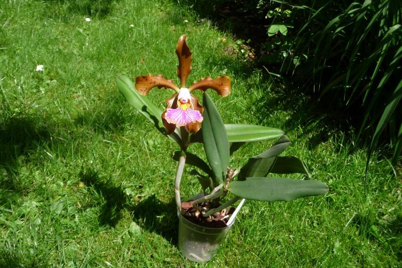Cattleya x frankeana - Seite 2 P1350811