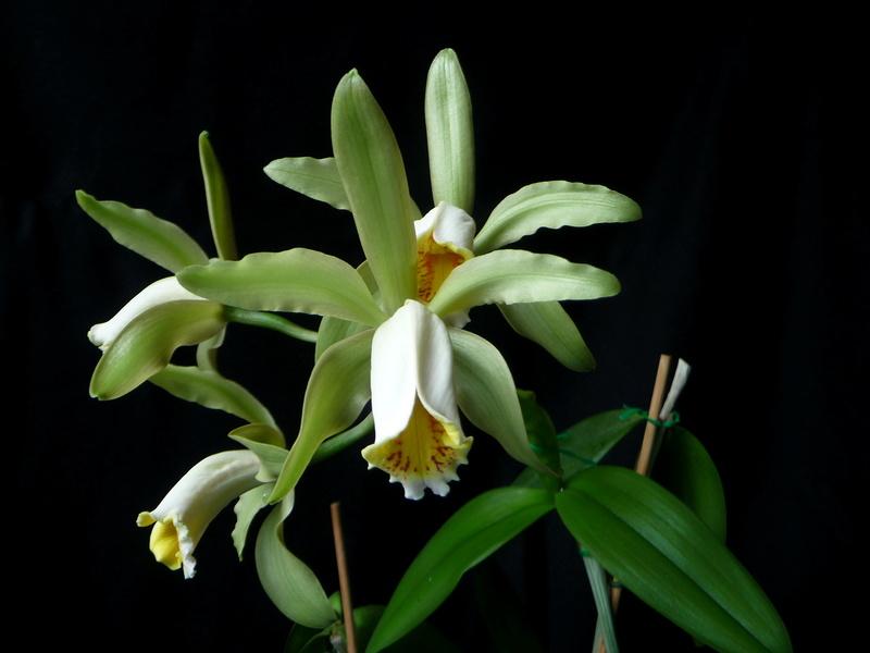 Cattleya forbesii - Seite 6 P1360021