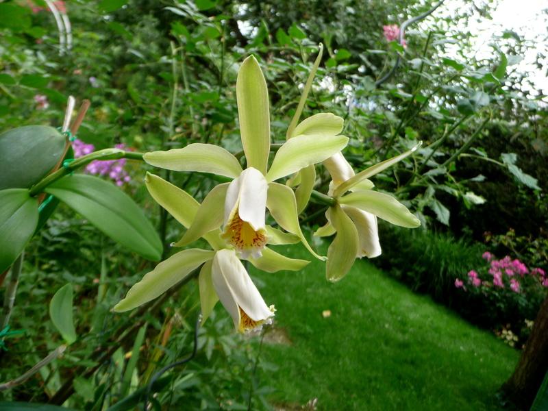 Cattleya forbesii - Seite 6 P1360022