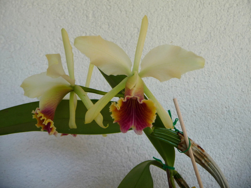 Cattleya x blossfeldiana P1360110