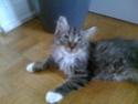 Irin (ex-Mirabelle), femelle type européen tigrée grise angora estimée mi juin Img_0516