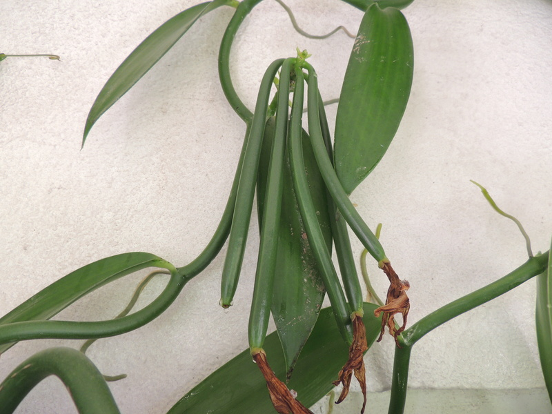 Culture et Entretien de la Vanilla Planifolia - Page 6 Dscn2310