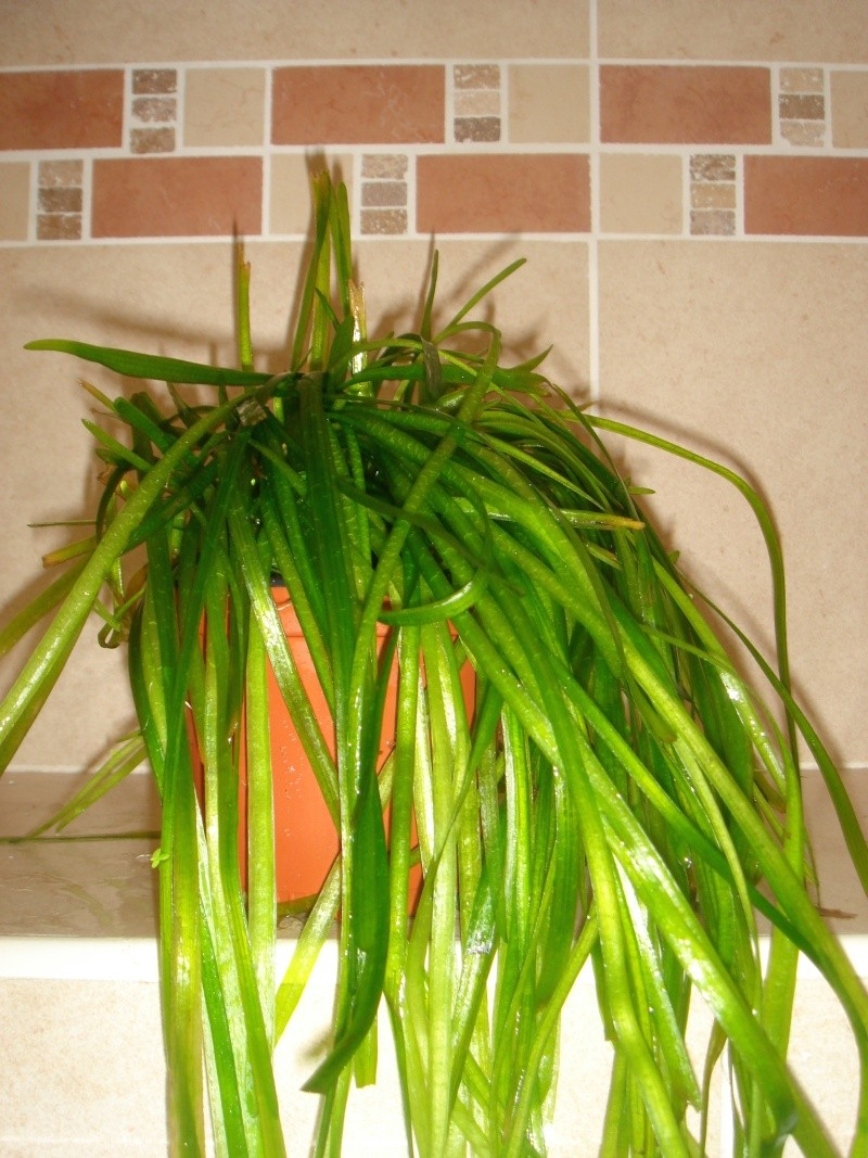 plantes d'aquarium Vallis10