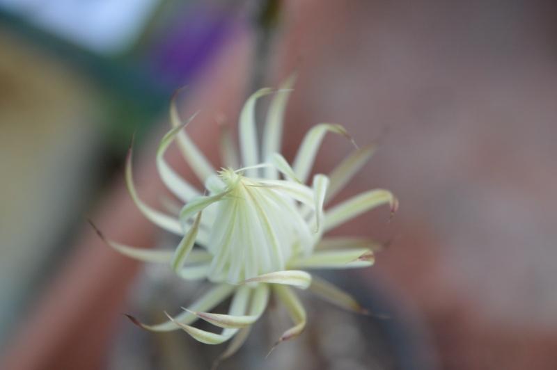 Setiechinopsis mirabilis Seti110