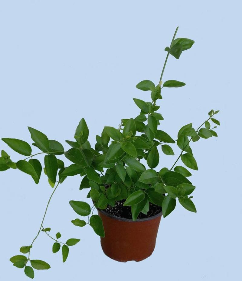 Jasminum auriculatum (molle) 110