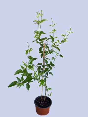 Jasminum tortuosum A110