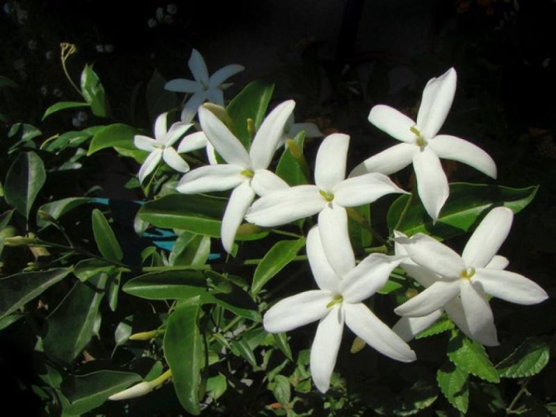 Jasminum tortuosum A210