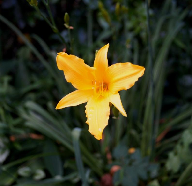 Hemerocallis - Taglilien - Schönheiten im Juni und Juli - Seite 6 Dsc04817