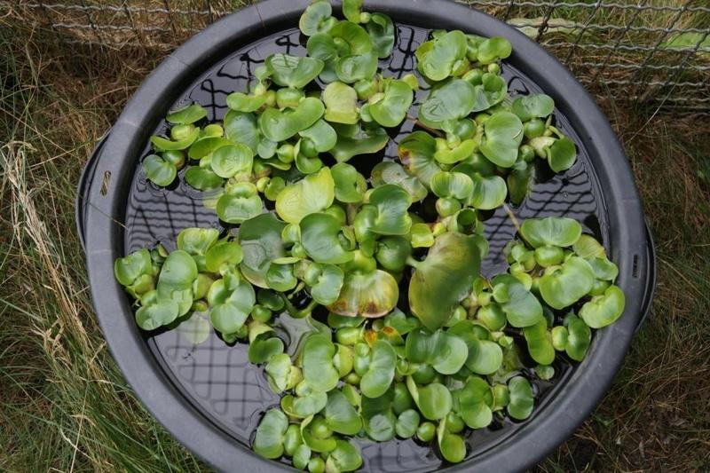 Wasserhyazinthengewächse (Pontederiaceae) Dsc05520