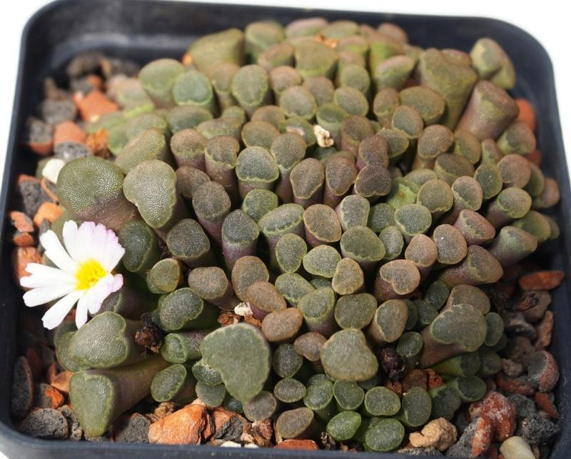 Frithia humilis Dsc05812