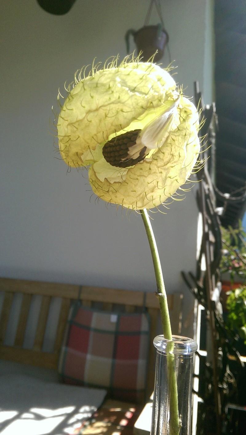 Seidenpflanzengewächse (Asclepiadoideae) Imag0354