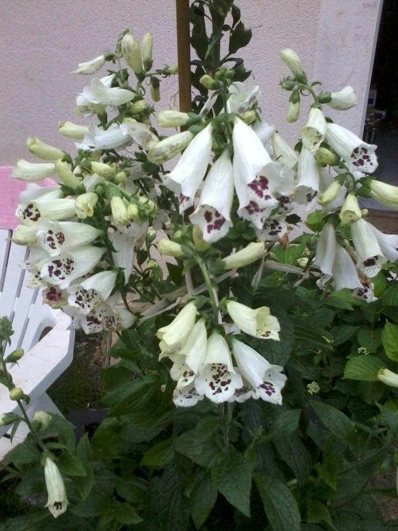 le bassin floral d'été de mes anodonte et moules naine - Page 6 2016-042