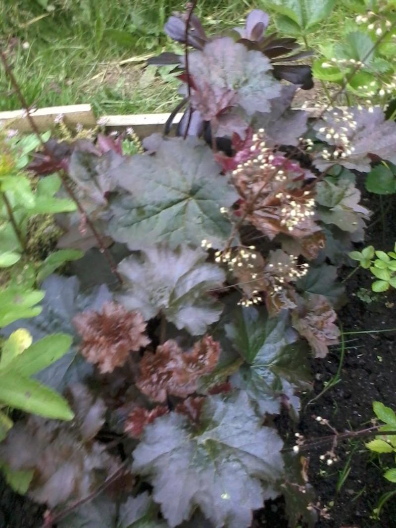 le bassin floral d'été de mes anodonte et moules naine - Page 6 2016-044