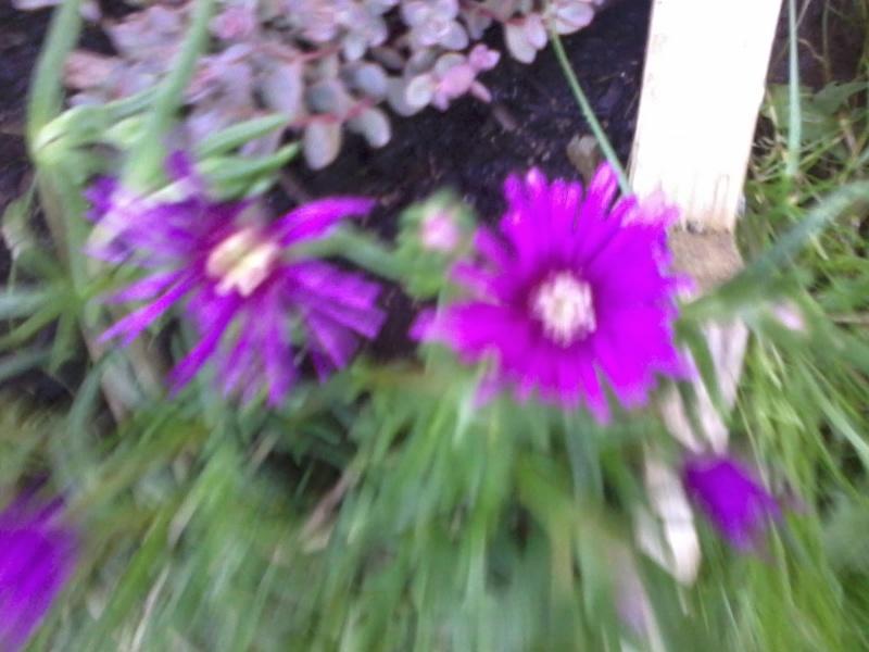 le bassin floral d'été de mes anodonte et moules naine - Page 6 2016-047