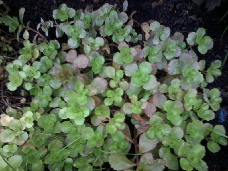 le bassin floral d'été de mes anodonte et moules naine - Page 6 2016-051