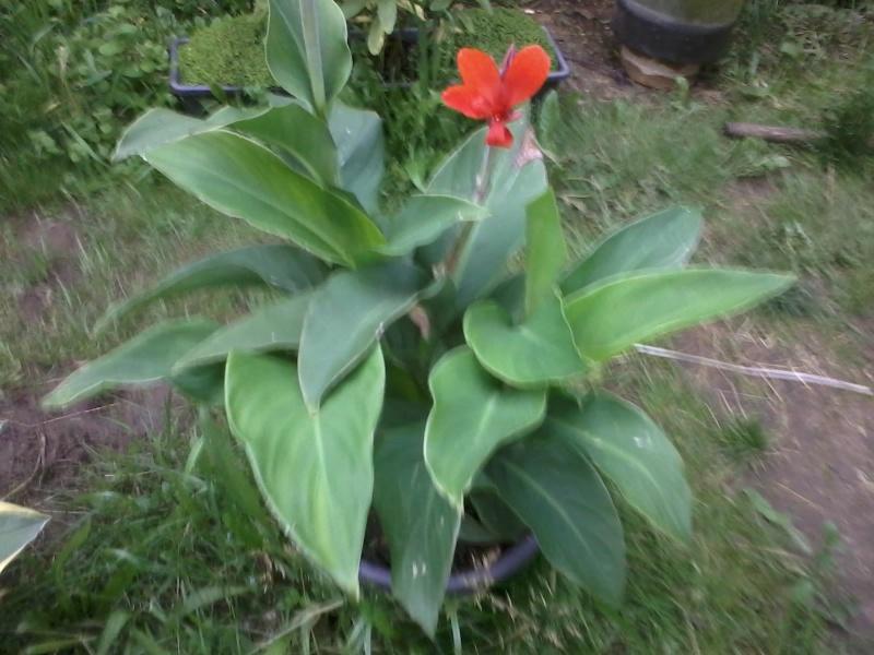 le bassin floral d'été de mes anodonte et moules naine - Page 6 2016-062