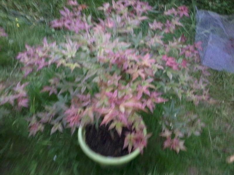 le bassin floral d'été de mes anodonte et moules naine - Page 6 2016-063