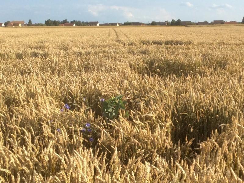 Semis de blé dans des repousses de féveroles - Page 3 Image19