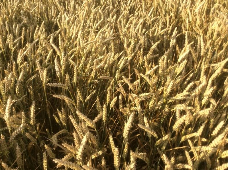 Semis de blé dans des repousses de féveroles - Page 3 Image20