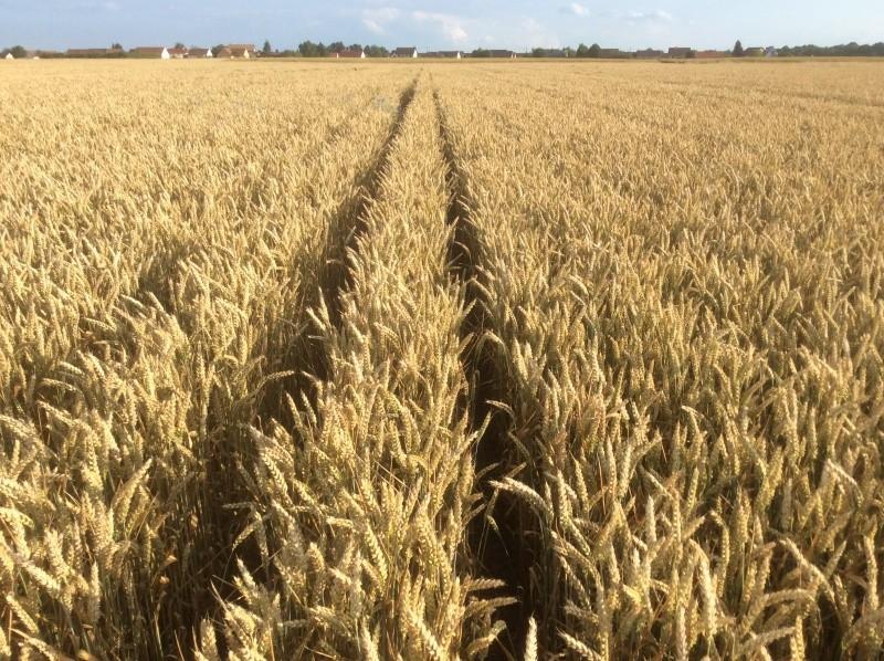 Semis de blé dans des repousses de féveroles - Page 3 Image22