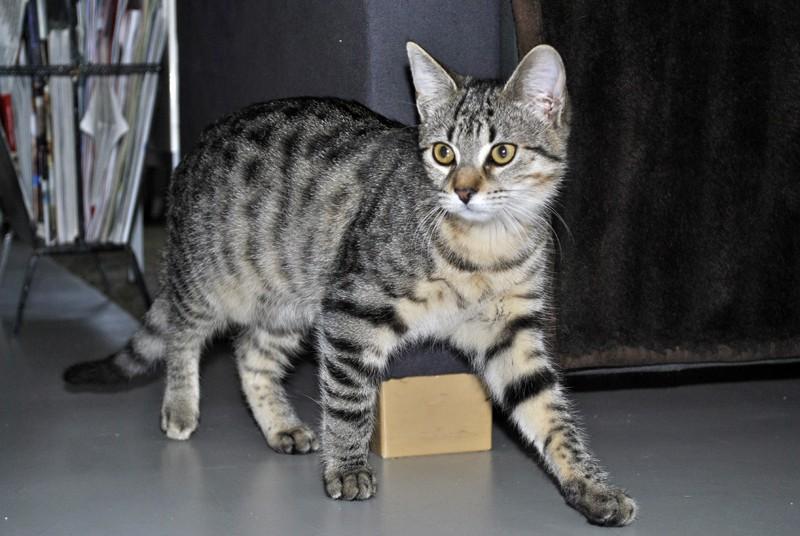 Janet, femelle type européenne tigrée, née le 15 juin 2014 - Page 9 _dsc0110