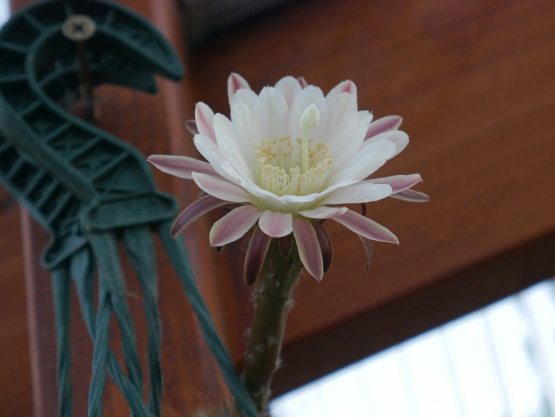 Haageocereus australis P1070310