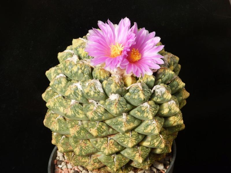 Ariocarpus intermedius 'Variegatus' P1150910