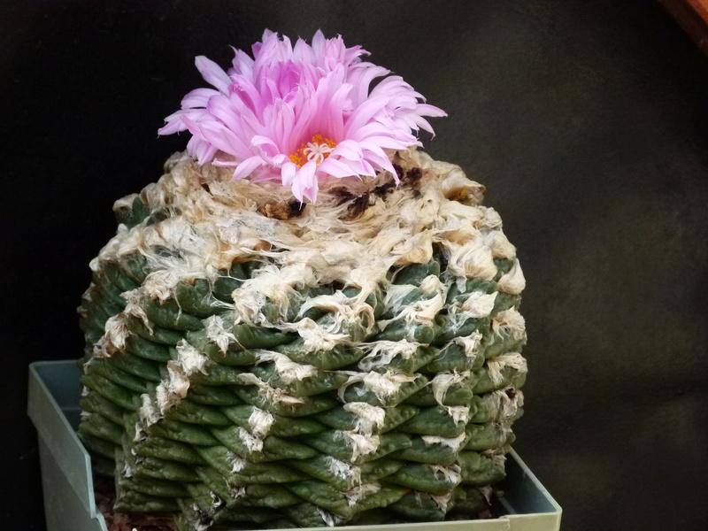 Ariocarpus intermedius P1180010