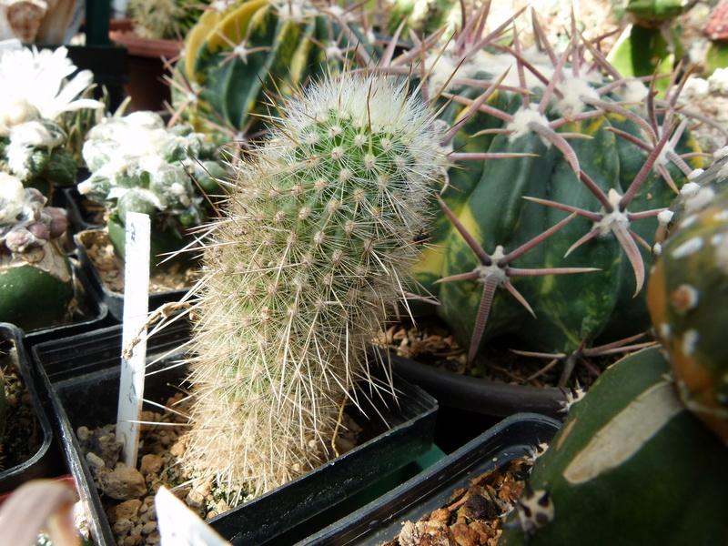 Haageocereus australis P1180111