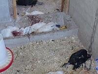 Qui a tué 25 de mes poules durant la nuit? Image11
