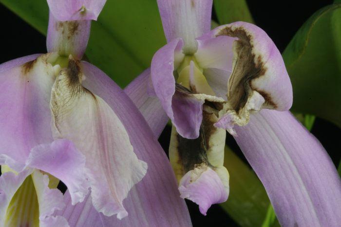 Effet d'une brutale hausse de température sur quelques orchidées Effet_12