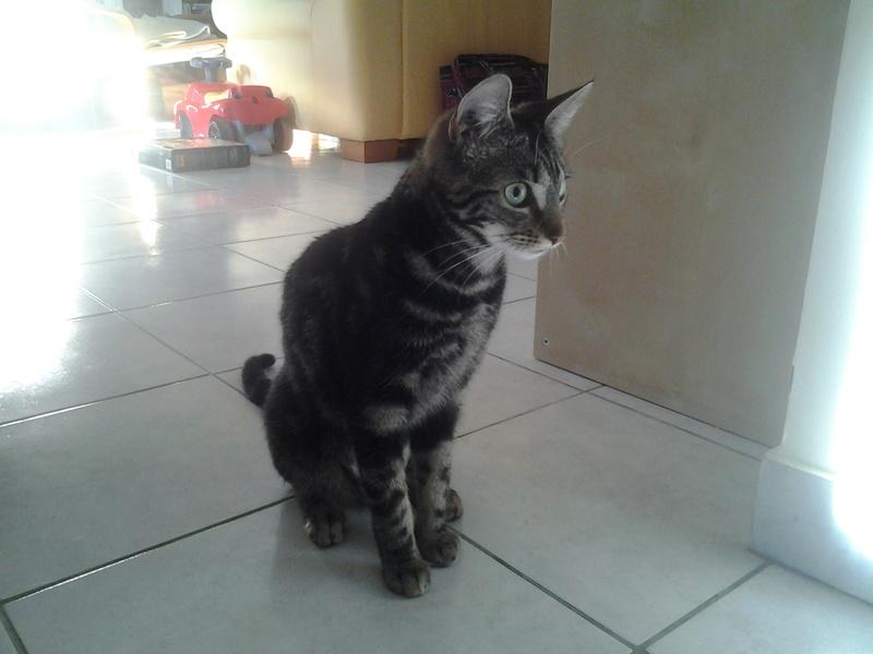 Leila - Leïla - Femelle tigrée - Type européen née en Août 2015 20160810