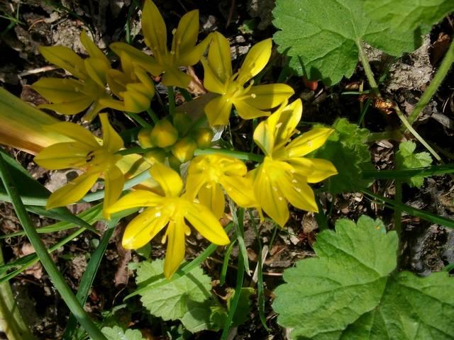 Le ballet jaune !!! - Page 4 Allium10