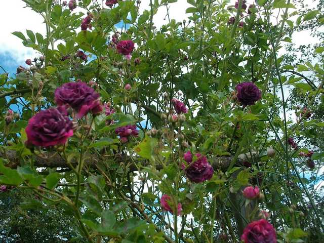 Rosa 'Blue Magenta'  - Page 4 Blu-ma10