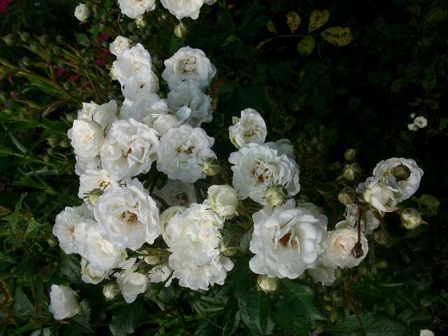 Rosa 'Little White Pet' !!! - Page 3 Faux_l10