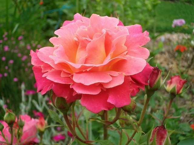 Belle de Clermont Rose_b10