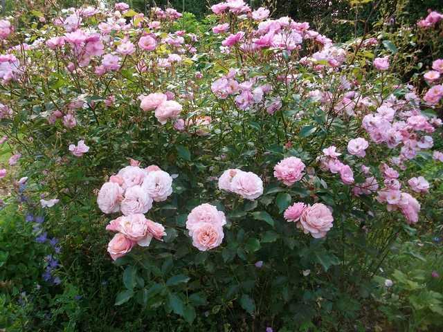 Rosa 'Botticelli' - Page 3 Rose_b11