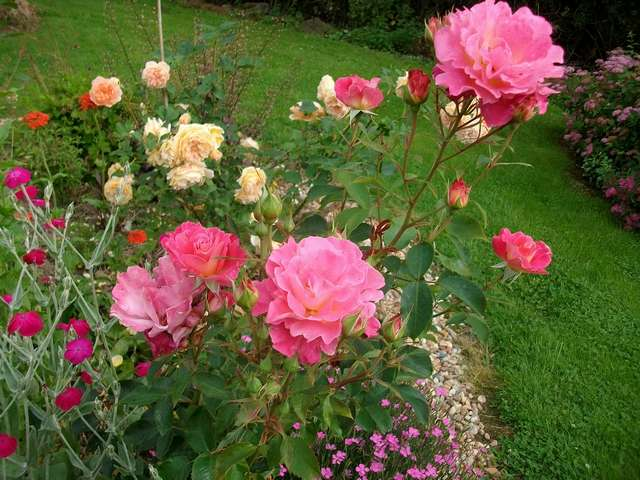Belle de Clermont - Page 2 Rose_b15