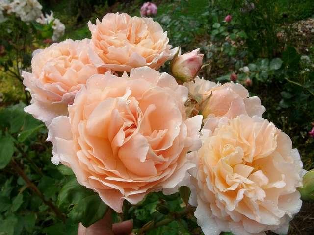 Rosa Caramella  - Page 2 Rose_c15