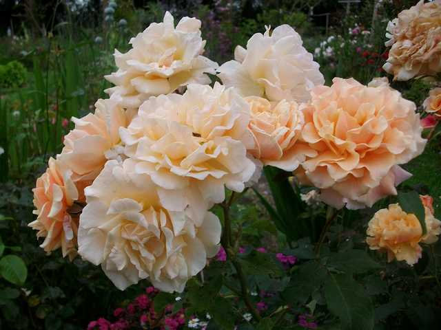 Rosa Caramella  - Page 2 Rose_c16