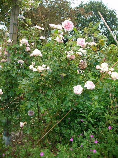 Rosa La Giralda  - Page 6 Rose_l12