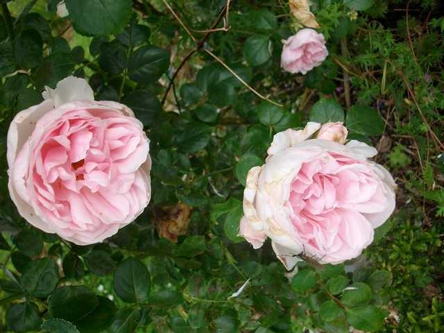 Rosa La Giralda  - Page 6 Rose_l13