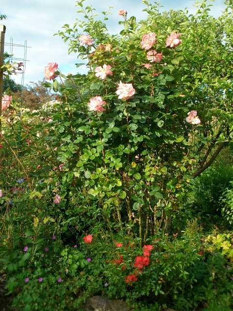rosae Laéticia Casta - Page 4 Rose_l15