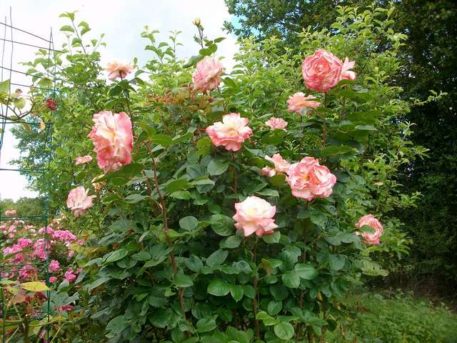 rosae Laéticia Casta - Page 4 Rose_l16