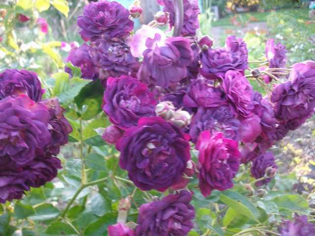 Rosa 'Blue Magenta'  - Page 4 Rose_m11