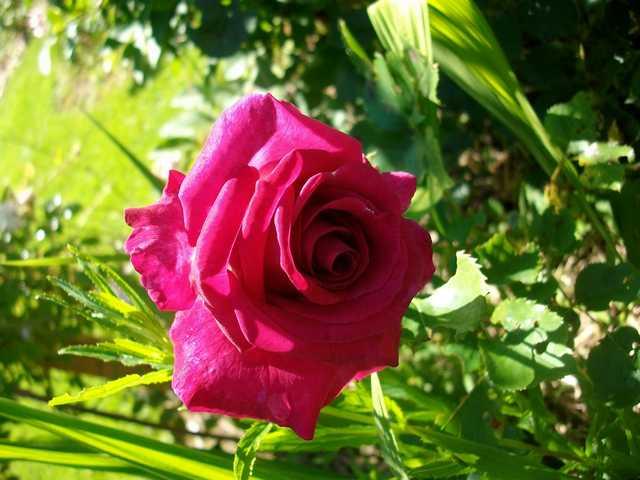 Rosa 'Violette Parfumée !!! - Page 4 Rose_v10